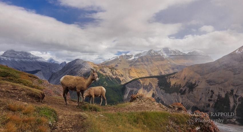 Bergziegen Parker Ridge Trail Kanada