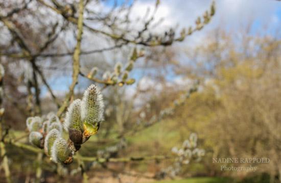 Weidenkätzchen fotografiert mit Schärfentiefe im Britzer Garten Outdoor-Locations, Berlin