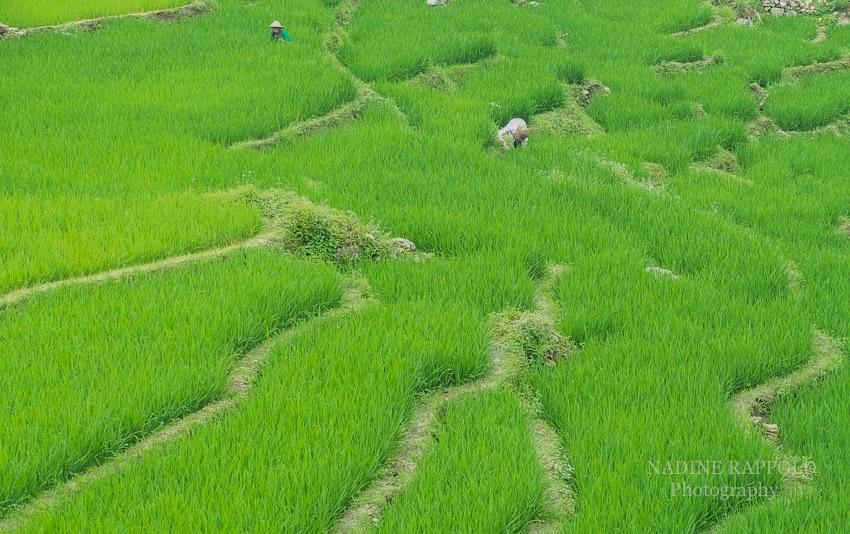 Sapa Vietnam Reisfeld Ernte grün