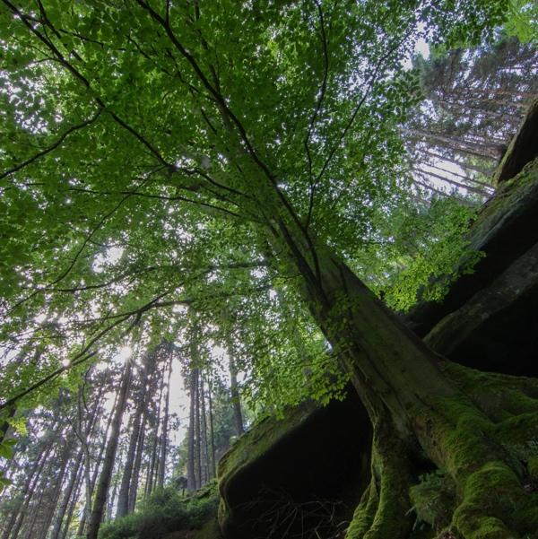 Baum Sonnenstrahl