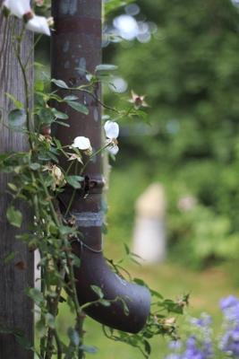 geringe Schärfentiefe Regenrohr Rosen Garten